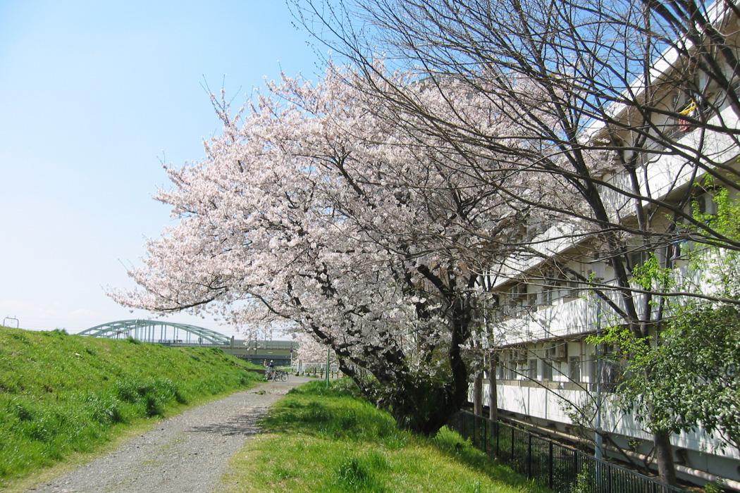 春には桜の花が咲きます